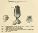 Tethya dactyloidea Carter, 1869