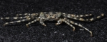 Grapsus longitarsis Dana, 1851 