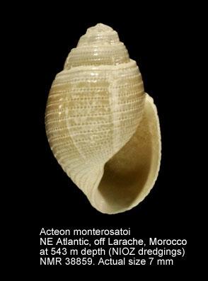 Acteon monterosatoi