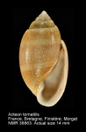 Acteon tornatilis