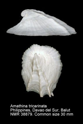 Amathina tricarinata