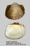 Anadara natalensis