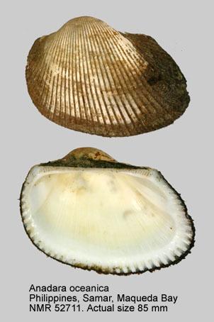 Anadara oceanica