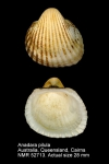 Anadara pilula