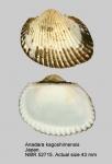 Anadara kagoshimensis