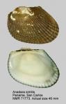 Anadara similis