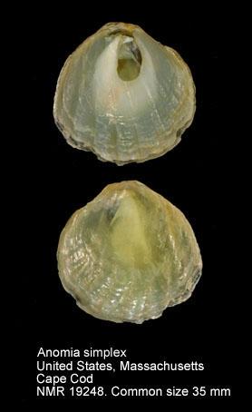 Anomia simplex