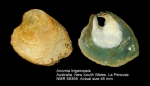 Anomiidae