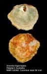 Anomia trigonopsis