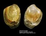 Aplysiidae