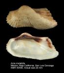 Arca mutabilis