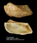 Arca tetragona
