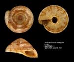 Architectonicidae