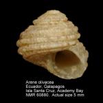 Areneidae