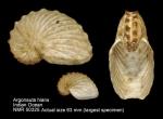 Argonautidae