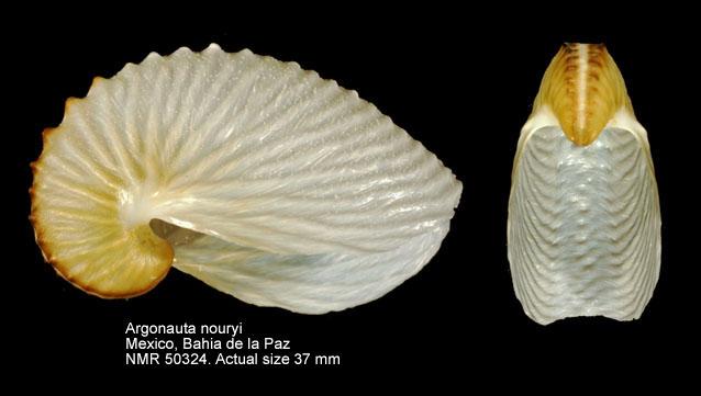 Argonauta nouryi