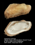 Asperarca nodulosa