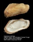 Asperarca nodulosa