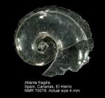Atlantidae