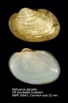Bathyarca glacialis