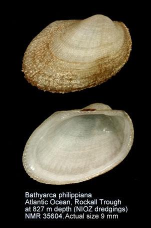 Bathyarca philippiana
