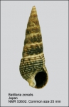 Batillaria zonalis