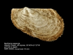 Bentharca asperula