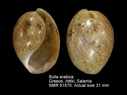 Bulla arabica