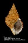 Bursidae