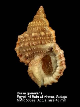 Bursa granularis