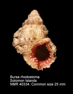 Bursa rhodostoma