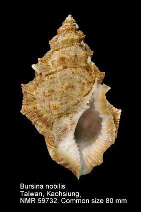 Bursina nobilis