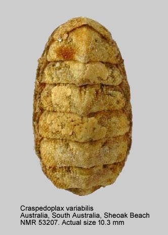 Craspedoplax variabilis