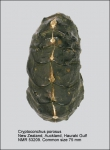 Cryptoconchus porosus