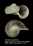 Discaclis canariensis