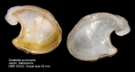 Dolabella auricularia