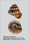 Heliacus cylindricus