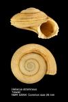 Heliacus stramineus
