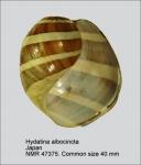 Hydatina albocincta