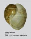 Hydatina zonata