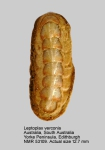 Leptoplax verconis