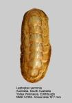 Leptoplax verconis