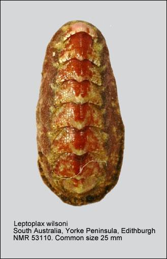 Leptoplax wilsoni