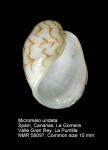 Micromelo undatus