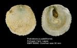 Pododesmus patelliformis