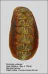 Notoplax violacea