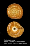 Philippia hybrida