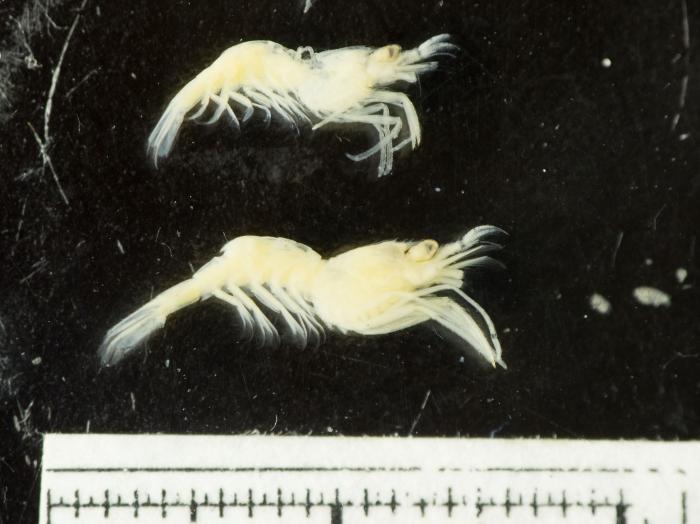 Eualus pusiolus