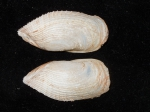 Barnea truncata - outer view