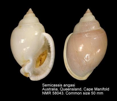 Semicassis angasi